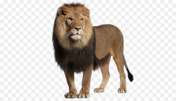 Lion, Stock Photography, Roar, Mammal PNG png image transparent background