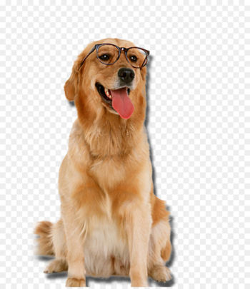 Golden Retriever Labrador Retriever Puppy Cat Pet - Golden Retriever dog wearing glasses  png image transparent background