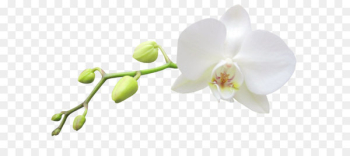 Moth orchids White Haiku: An Anthology of Japanese Poems Clip art - Large Transparent White Orchid Clipart  png image transparent background