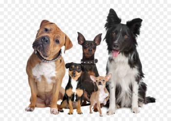 Labrador Retriever Puppy Cat Dog breed Dog type - A group of pet dogs  png image transparent background