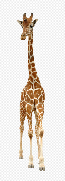 Reticulated giraffe Stock photography Royalty-free English - A giraffe  png image transparent background