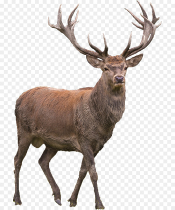 Red deer Elk Barasingha - deer  png image transparent background