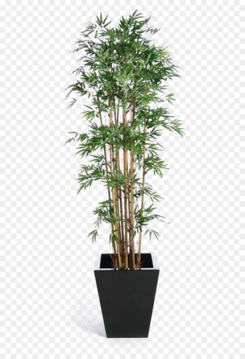 Weeping fig Tree Houseplant Banyan - Green bamboo potted buckle png  png image transparent background