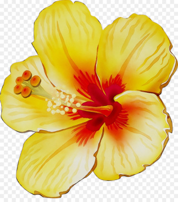 Rosemallows Yellow Cut flowers Herbaceous plant -   png image transparent background