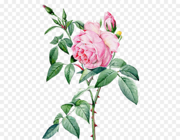 Rosa chinensis Beach rose Landscape architecture - Beautiful hand-painted peony flower material  png image transparent background