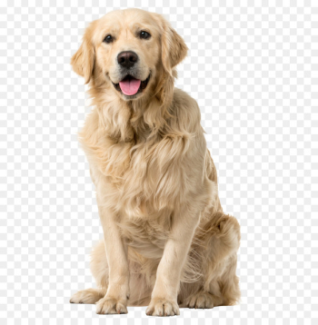 Golden Retriever Labrador Retriever Puppy Pet sitting Tweed Water Spaniel - golden dogs word  png image transparent background