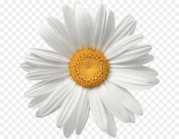 Common daisy Flower White Stock photography - daisy  png image transparent background