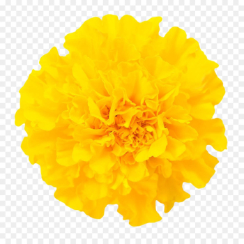 Mexican marigold Chrysanthemum Flower Euclidean vector - Marigold Close Pictures Free Download  png image transparent background