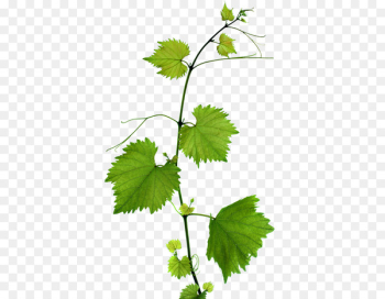 Kyoho Grape leaves Leaf Branch - Green Grape Leaves  png image transparent background