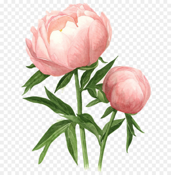 Peony Watercolor painting Drawing Watercolour Flowers - peony  png image transparent background