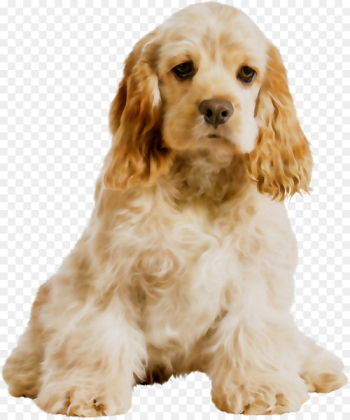 American Cocker Spaniel English Cocker Spaniel Cavalier King Charles Spaniel Field Spaniel -   png image transparent background