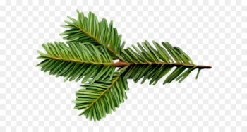 Spruce Balsam fir Twig Tree Pine - tree  png image transparent background