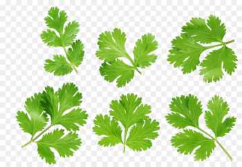 Coriander Stock photography Royalty-free - Leaves  png image transparent background