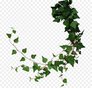 Common ivy Vine Portable Network Graphics Clip art Borders and Frames - tree  png image transparent background