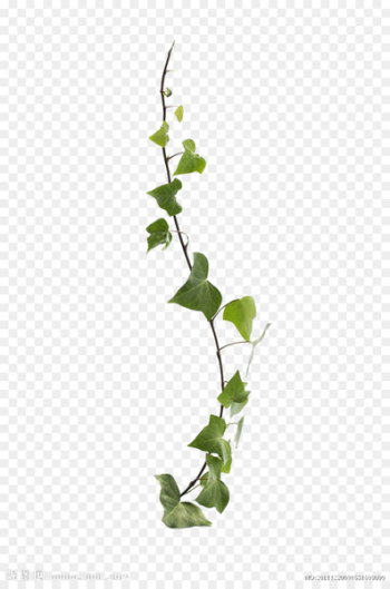 Common ivy Virginia creeper Vine Leaf Plant - Vines are available for free download  png image transparent background