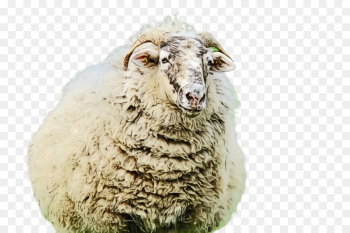 sheep sheep livestock cow-goat family png image transparent background