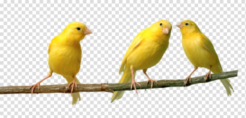 Canary png 3 » PNG Image png image transparent background