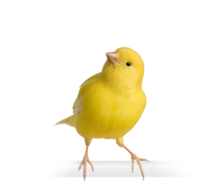 Canary png 1 » PNG Image png image transparent background