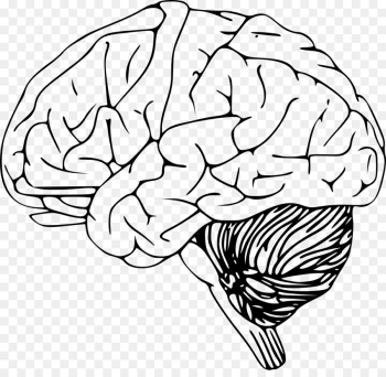 Outline of the human brain Clip art - Human brain png download ... png image transparent background