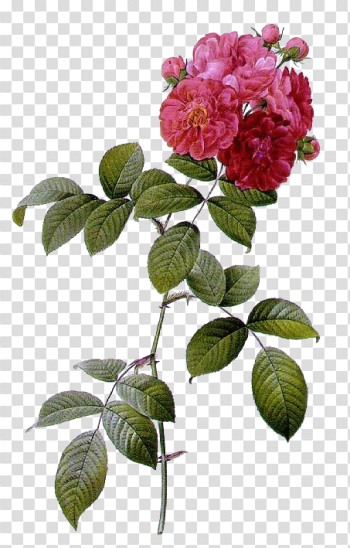 Plant Flower Rose Multiflora French Roses Les png image transparent background
