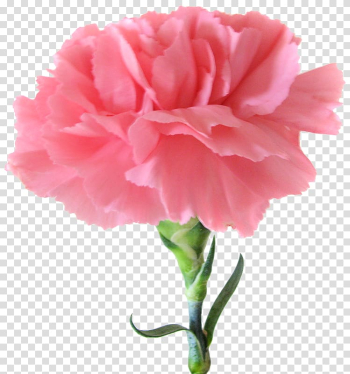 Carnation Birth flower Pink flowers, pink flower transparent background PNG clipart png image transparent background