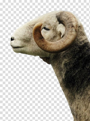 Aesthetics of music Wicked Wool Sheep, Smiling sell Meng white goat transparent background PNG clipart png image transparent background