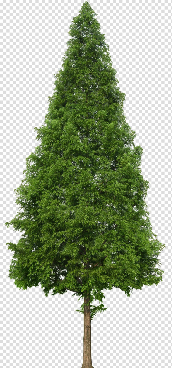Green tree, Evergreen Tree Douglas fir, trees transparent background PNG clipart png image transparent background
