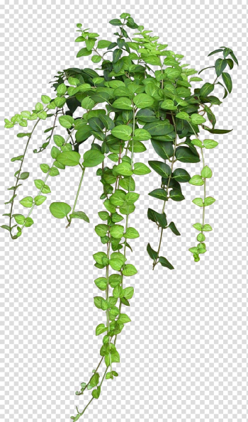 Green leafed plants, Plant Vine Rose Flower, bushes transparent background PNG clipart png image transparent background