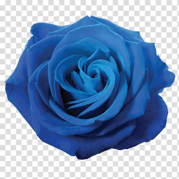 Blue rose Flower , blue flower transparent background PNG clipart png image transparent background