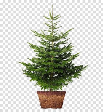 Christmas tree Nordmann fir Norway spruce Christmas Day , christmas tree transparent background PNG clipart png image transparent background