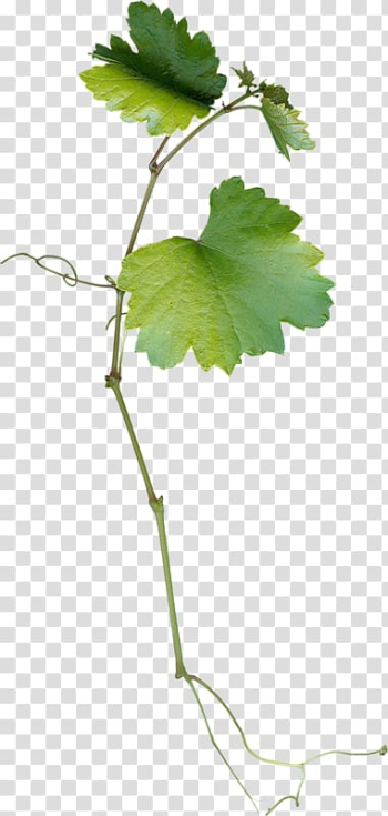 Green leafed plant, Grape leaves Leaf Grapevines, Grape leaves transparent background PNG clipart png image transparent background