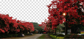 Panzhihua Guangzhou Bombax ceiba Paineira Flower, Road on both sides of the kapok tree transparent background PNG clipart png image transparent background