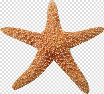 Marine Animals , Brown texture starfish transparent background PNG clipart png image transparent background