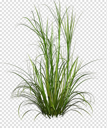 Animated green grass, Purple Fountain Grass Pennisetum alopecuroides Plant, Underbrush transparent background PNG clipart png image transparent background