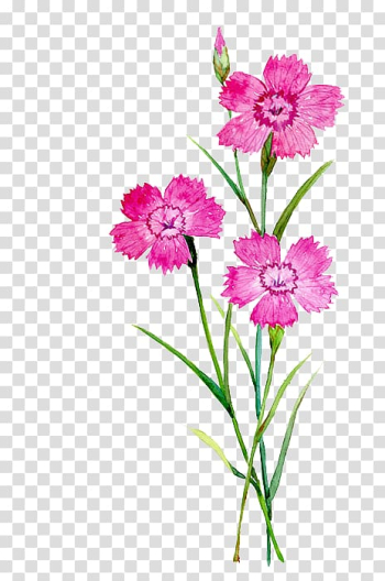 Pink petaled flowers , Carnation Flower Watercolor painting Illustration, watercolor flowers transparent background PNG clipart png image transparent background