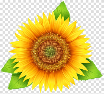 Common sunflower Scalable Graphics , Sunflower yellow flowers transparent background PNG clipart png image transparent background