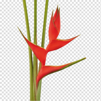 Lobster-claws Tropical Flowers Cut flowers Flowering plant, flower transparent background PNG clipart png image transparent background