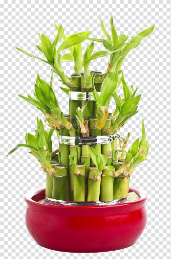 Lucky bamboo Perennial plant Tree, Gifts Lucky Bamboo transparent background PNG clipart png image transparent background