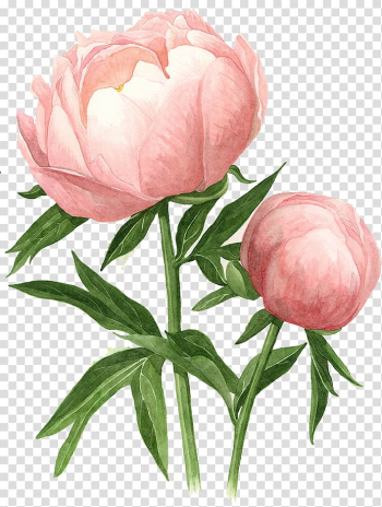 Pink peony flower illustration, Peony Watercolor painting Drawing Watercolour Flowers, peony transparent background PNG clipart png image transparent background