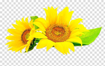 Common sunflower Sunflower seed , flower transparent background PNG clipart png image transparent background