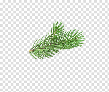 Christmas Resource , green pine tree leaf transparent background PNG clipart png image transparent background