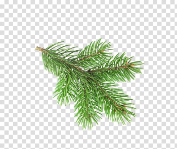 Christmas Resource , green pine tree leaf illustration transparent background PNG clipart png image transparent background