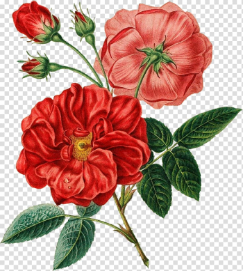 Red flowers in bloom , Flower bouquet Red Poppy, botanical flowers transparent background PNG clipart png image transparent background
