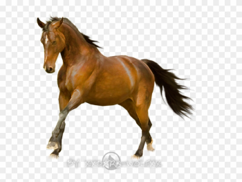 Horse Stock Finish By Dark Wolfs Stock - Mustang Horse White Background png image transparent background