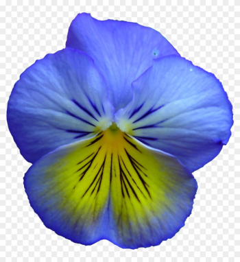Pansy, Flower, Flowers, Summer Flowers, Purple, Nature - Blue And Yellow Flowers png image transparent background