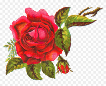 The Big Red Rose Is Surrounded By Bright Leaves, Parts - Garden Roses png image transparent background
