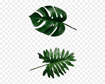 Swiss Cheese Plant Banana Leaf Philodendron - Split Leaf Philodendron Leaves png image transparent background
