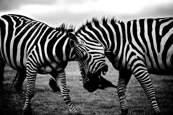 Black and white image of zebras on savannah png image transparent background