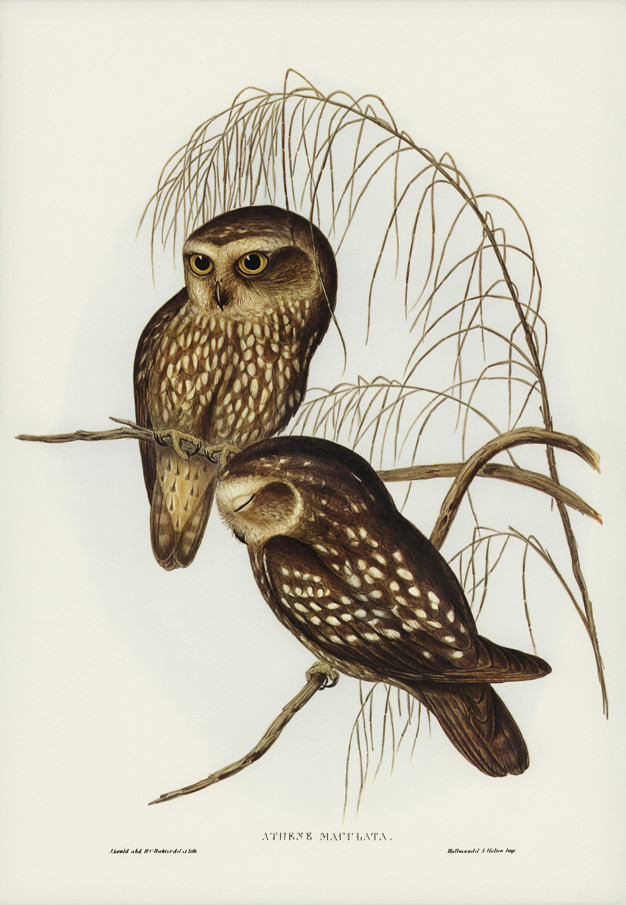 Spotted Owl Athene Maculate Illustrated By Elizabeth Gould Nohat