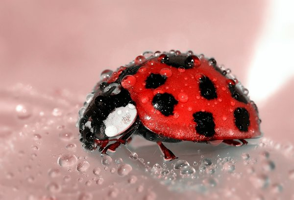 Ladybug, Beetle, Insect, Lucky Charm, Red, Points png image transparent background